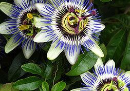 Ingredients Blue Passion Flower